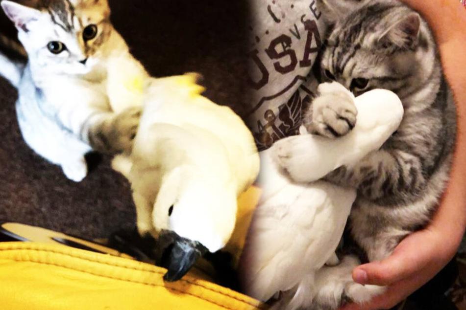 Allerbeste Freunde: Katze und Kakadu sind seit klein auf unzertrennlich!