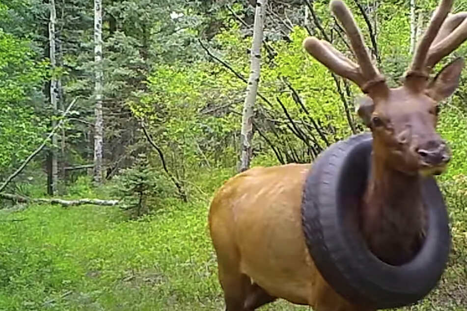 Elk finally gets rid of tire necklace after two years, thanks to Colorado wildlife officers