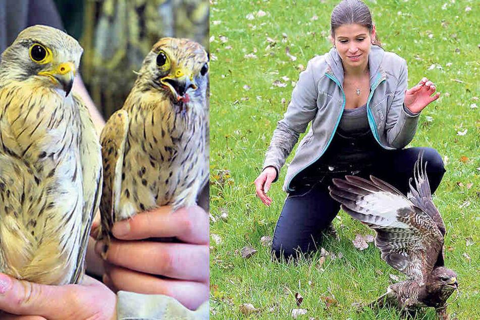 Vogelretterin Saskia Keller (32) entließ auch diesen Mäusebussard in die  Freiheit. Der gönnte sich gleich mal einen Wurm.
