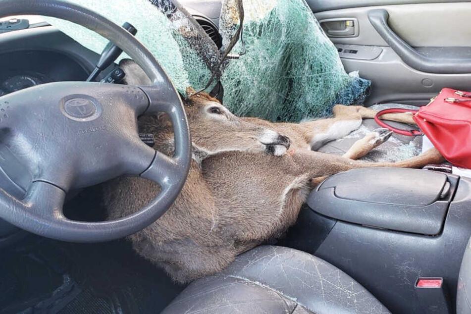 Der Hirsch lag dann einfach quer im Auto.