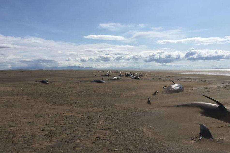 Rund 50 tote Wale wurden an diesem Strand entdeckt.