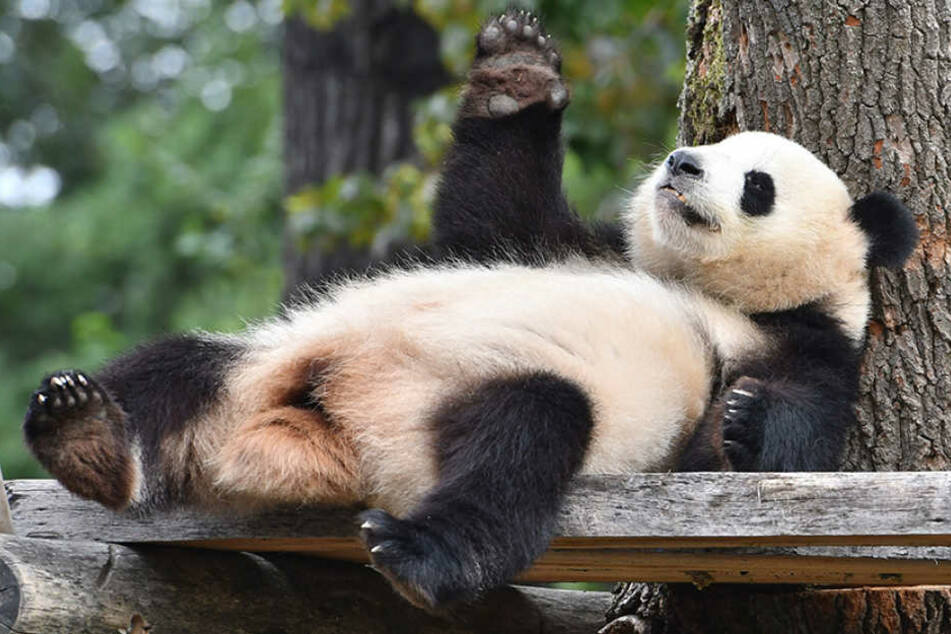 Panda-Dame Meng-Meng relaxt in ihrem Gehege im Zoo Berlin.