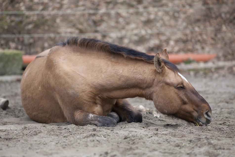 Mindestens 15 Pferde wurden grausam hingerichtet. (Symbolbild)
