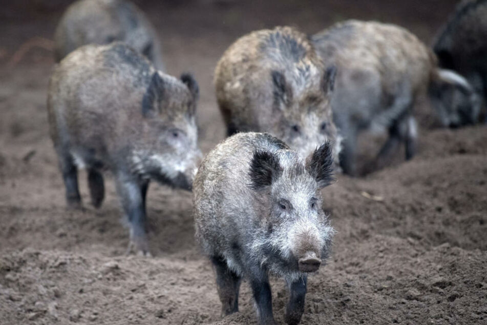Um eine weitere Verbreitung der Afrikanischen Schweinepest zu erschweren, wurde die Jagd auf Schwarzwild erleichtert.