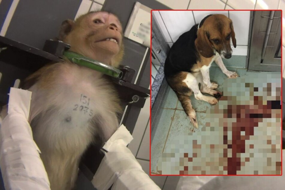 Grausame Tierversuche: Wird Todeslabor doch nicht geschlossen?