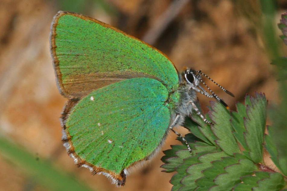 Zwei Drittel aller Schmetterlinge in Deutschland sind gefährdet