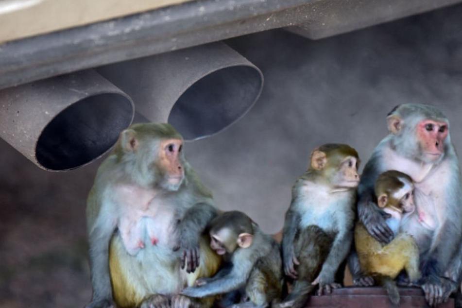 Die Abgastests an Affen hatten für öffentliche Empörung gesorgt. (Fotomontage/Symbolbild)