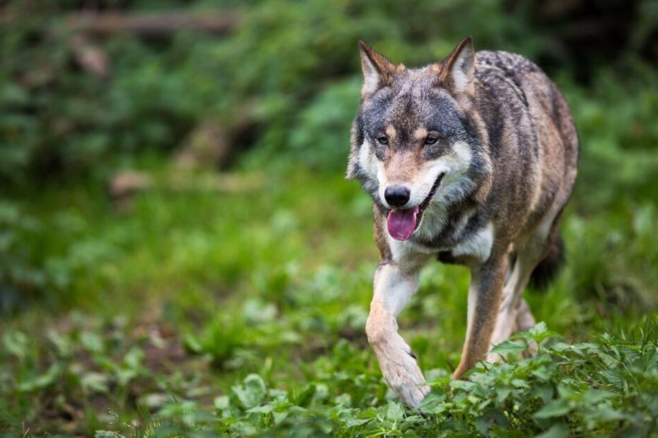 Ein Wolf soll mehrere Schafe in Neukirchen gerissen haben (Symbolbild).