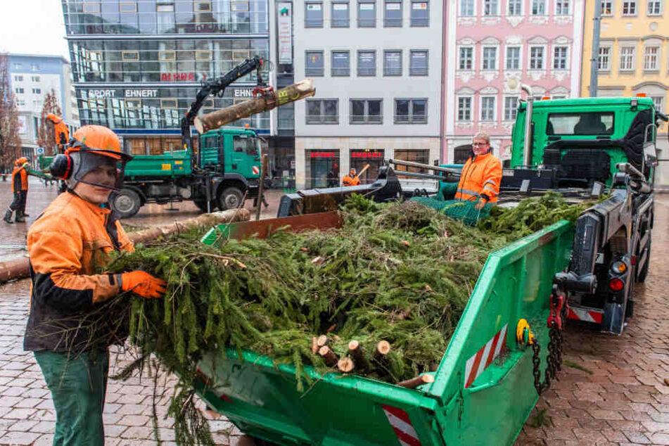 Die Chemnitzer Weihnachtsfichte kommt jetzt in den Tierpark. Einige Bewohner stehen auf stacheliges Grün und vertilgen die Nadeln.