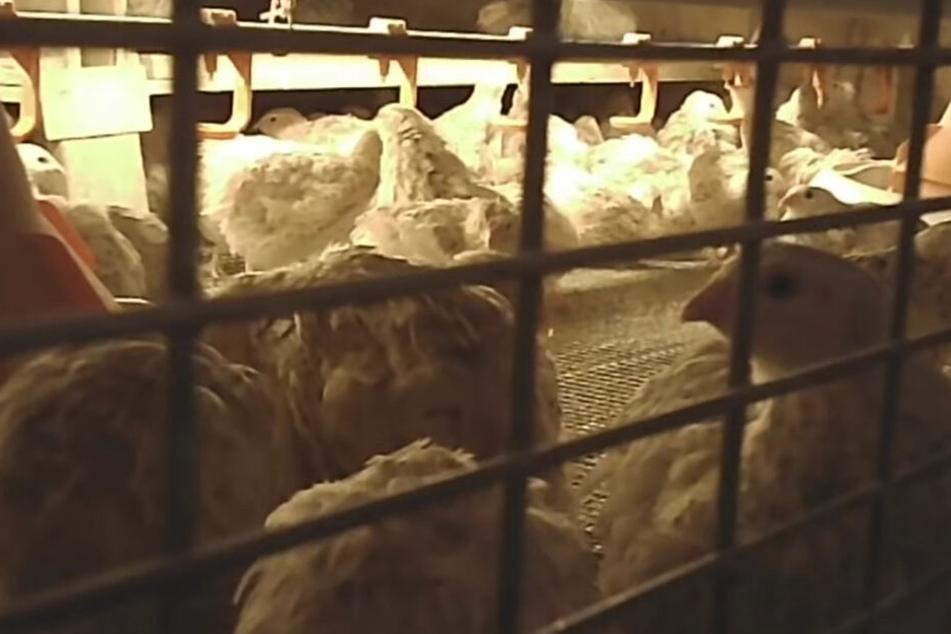 Die Wachteln sind in einem Käfig auf engen Raum zusammengepfercht.