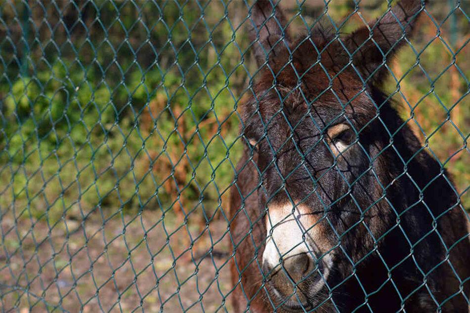 Acht Esel mussten den Weg ins Gefängnis antreten. (Symbolbild)