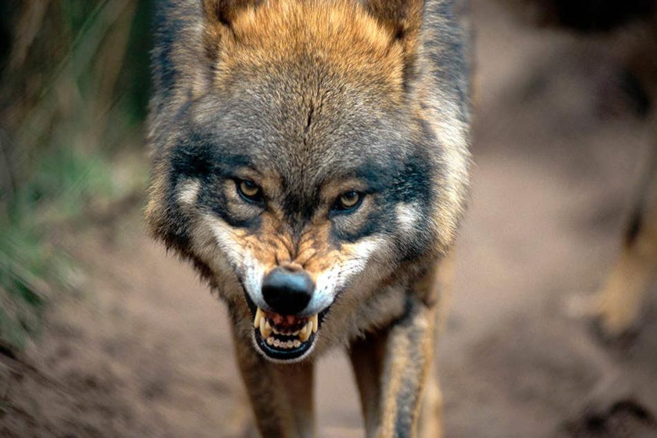 Die neue Verordnung gibt auffällige und aggressive Tiere zum Abschuss frei.