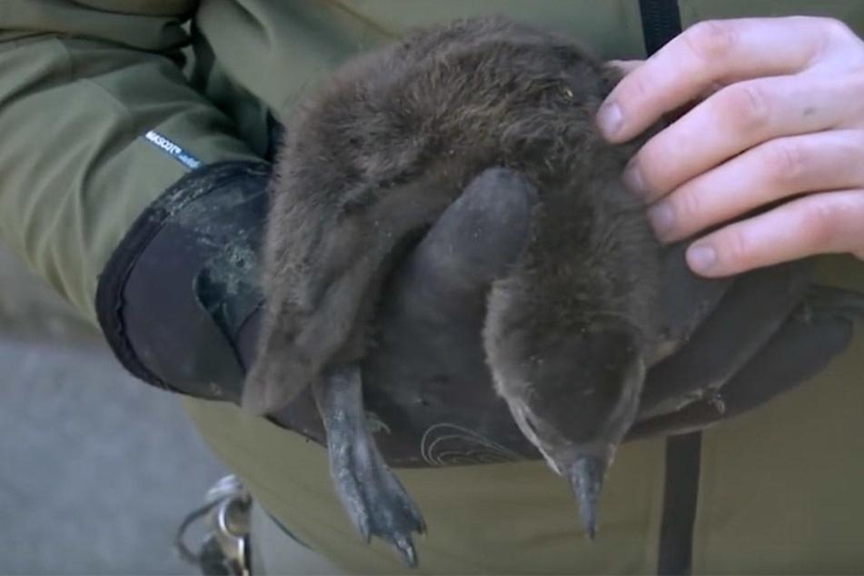 Die Pfleger machen sich keine Sorgen um den Jungvogel, denn er hat gut zugelegt und wird liebevoll umsorgt.