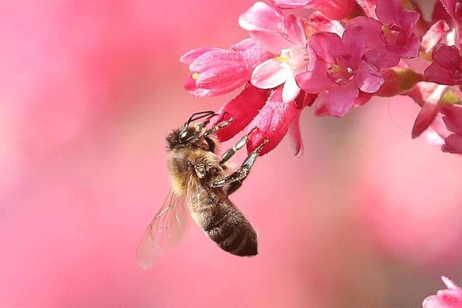 Jeder mit Blumen bepflanzte Balkon hilft Bienen.