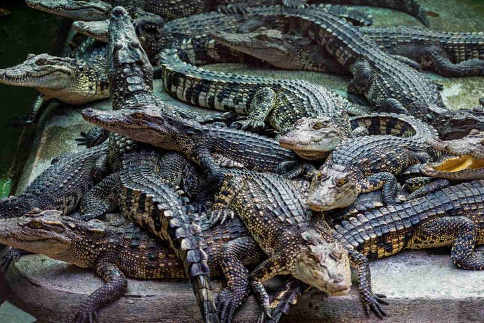 50 geschmuggelte Krokodile am Flughafen sichergestellt