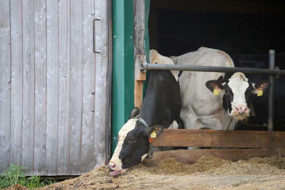 Kühe stehen in einem landwirtschaftlichen Großbetrieb in einem Stall. Die Staatsanwaltschaft ermittelt gegen den Betreiber des Hofes wegen Tierquälerei.