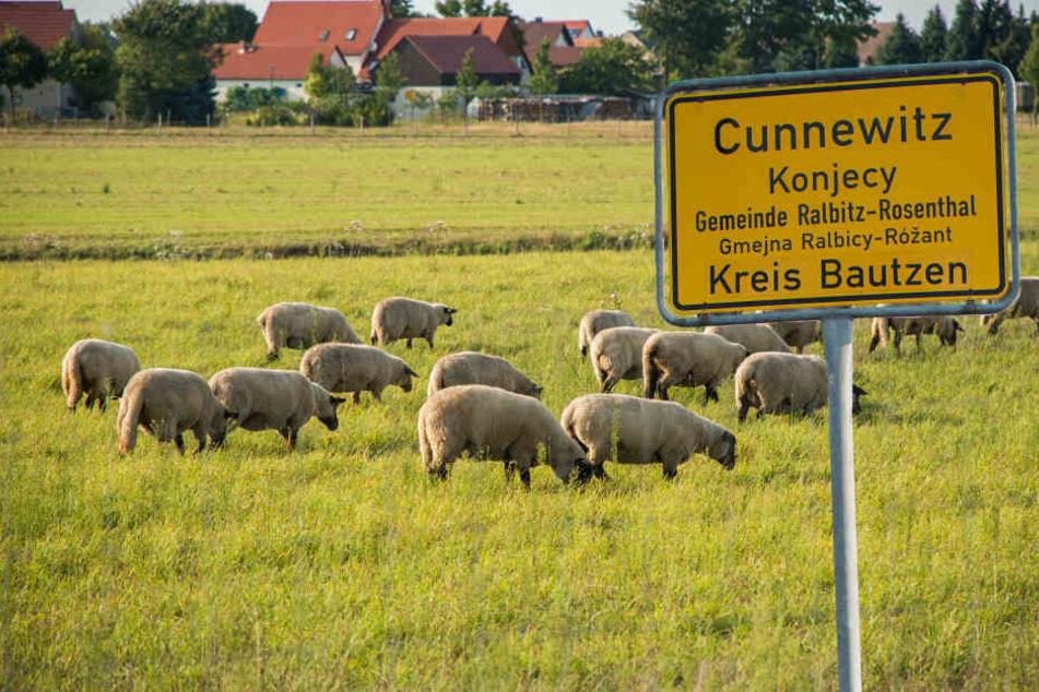 In Cunnewitz verlor ein Schäfer in diesem Monat an die 30 Tiere. Getötet wohl  vom Rosenthaler Rudel.
