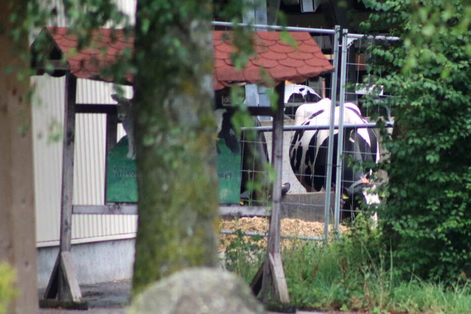 Nach Tierquälerei-Vorwürfen ist der Milchviehbetrieb im Allgäu durchsucht worden.