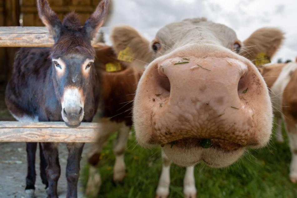 Abenteuerlustige Esel und Rinder halten Polizei auf Trab