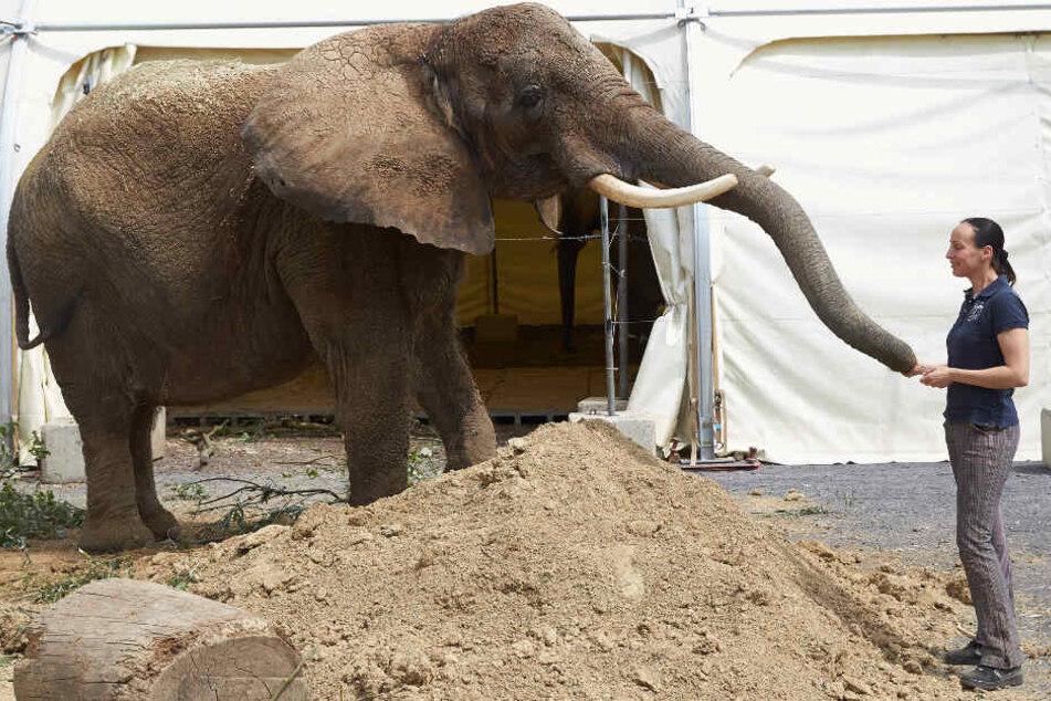 Elefanten büchsen gerne mal aus, so wie hier Elefantendame Kenia, die im Sommer 2018 mal aus ihrem Gehege des Zirkus Krone ausgebrochen war und in der Stadt spazieren ging.