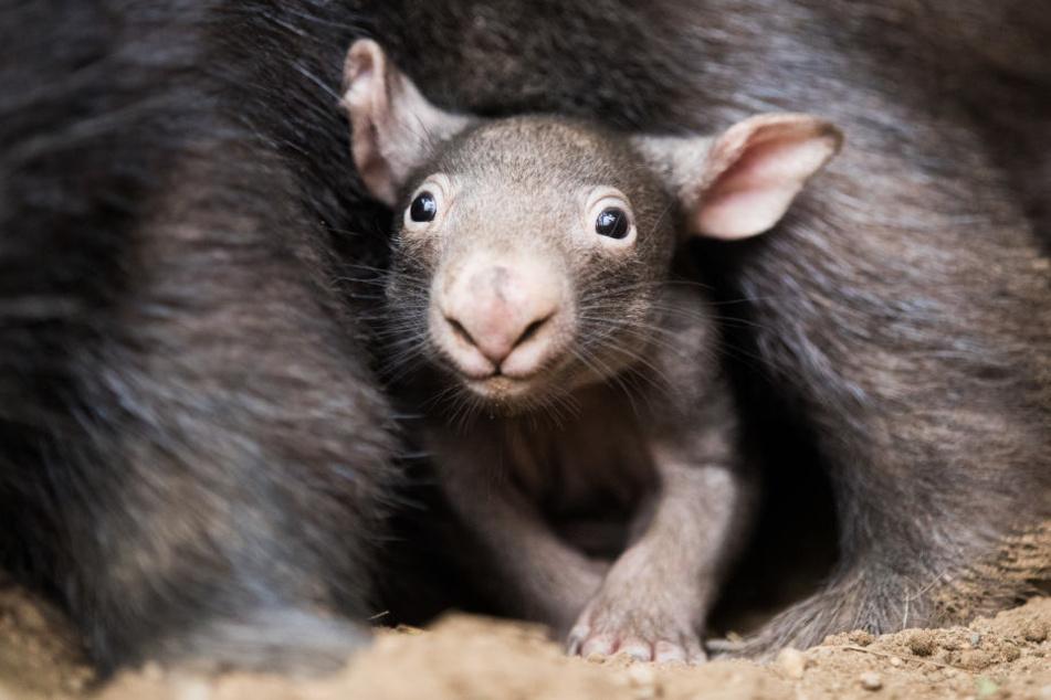 Ups, so entsteht die Würfel-Kacke von Wombats