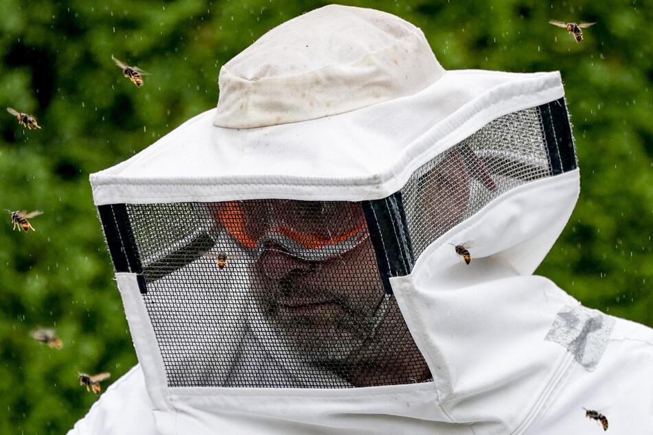 Dass ihr Nest entfernt wird, finden die Asiatischen Hornissen nicht witzig und umschwirren den Insektenkundler angriffslustig.