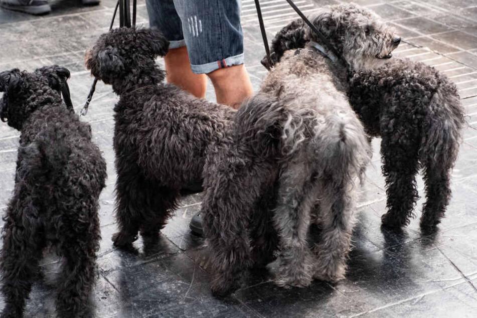 Ein Mann führt seine vier Hunde Gassi.