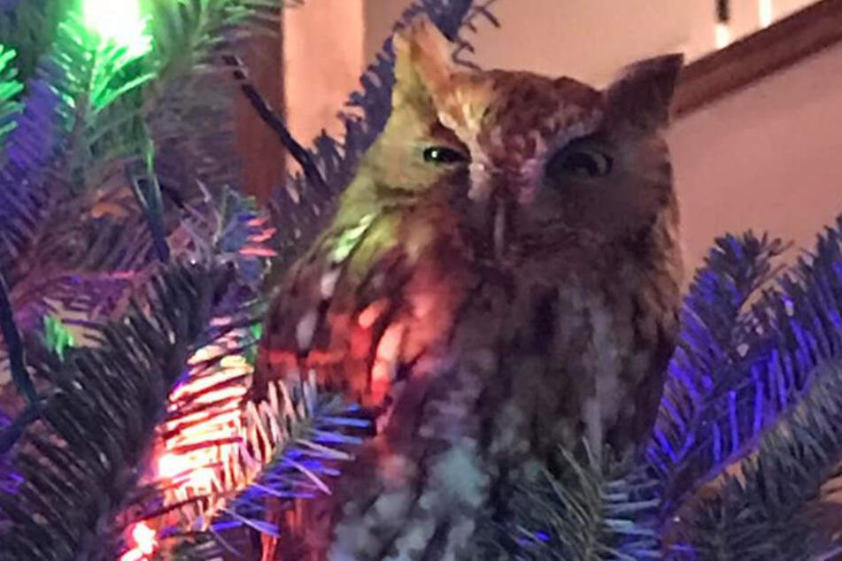 Merry Christmas: Die Eule sorgte im rechten Licht für Weihnachtsfeeling.