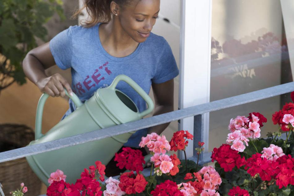 Geranien: So kommt die beliebte Balkonpflanze durch die Hitze
