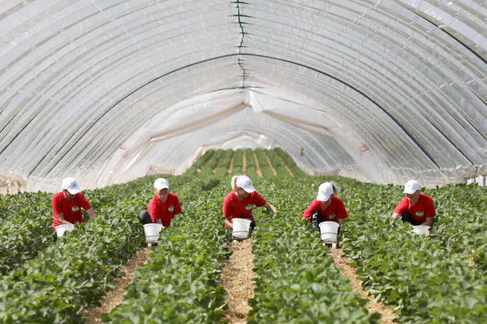 Folientunnel wie hier bei Rostock helfen bei der Reifung der Erdbeeren.