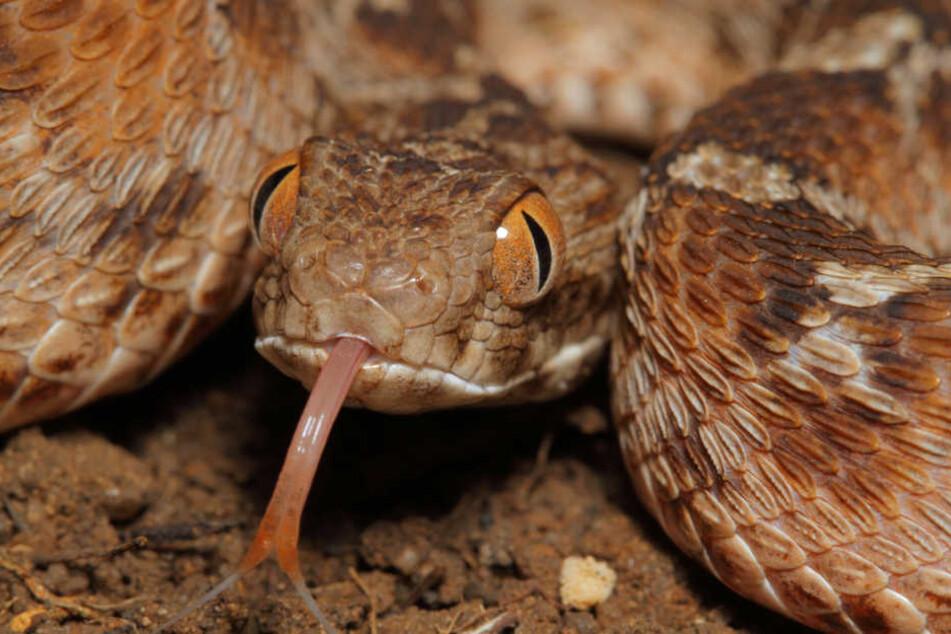 Eine Ägyptische Sandrasselotter, aufgenommen in Kenia. Der Biss einer giftigen Schlange verläuft tödlich - wenn das passende Gegengift fehlt.
