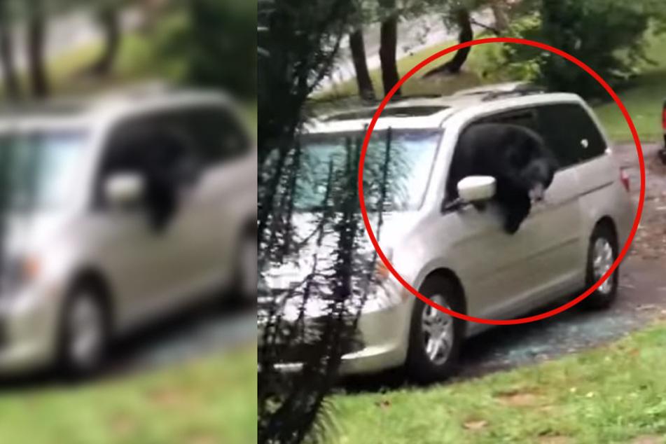 Der Bär hatte den Innenraum des Autos verwüstet und Sitze herausgerissen.