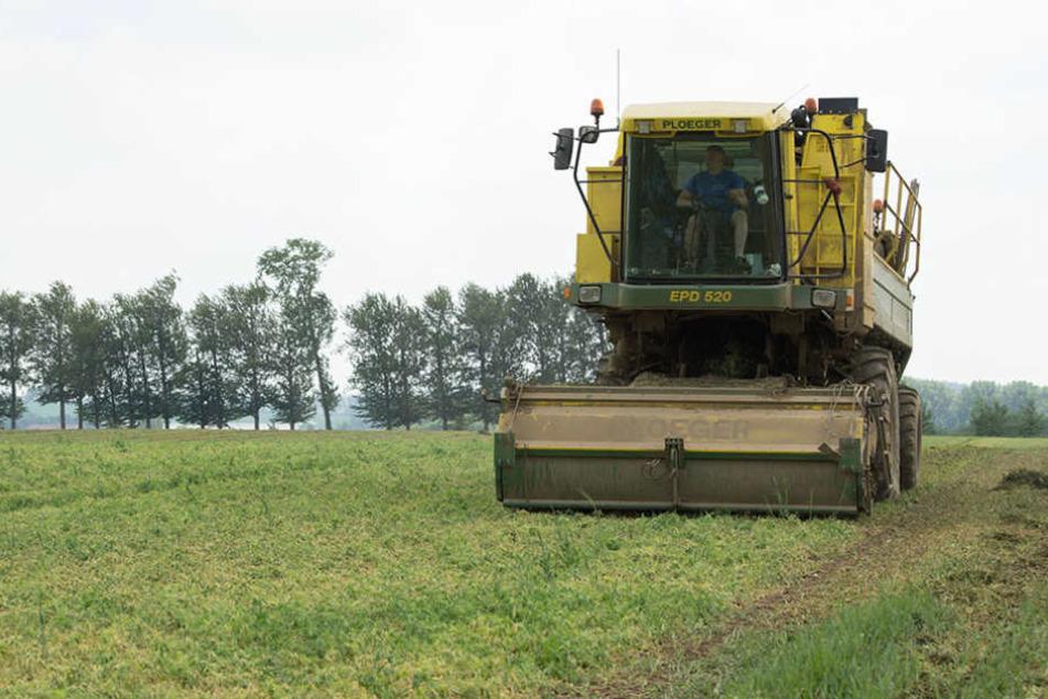 In Lommatzsch stehen die Maschinen für die Erbsenproduktion zur Zeit nicht mehr still.