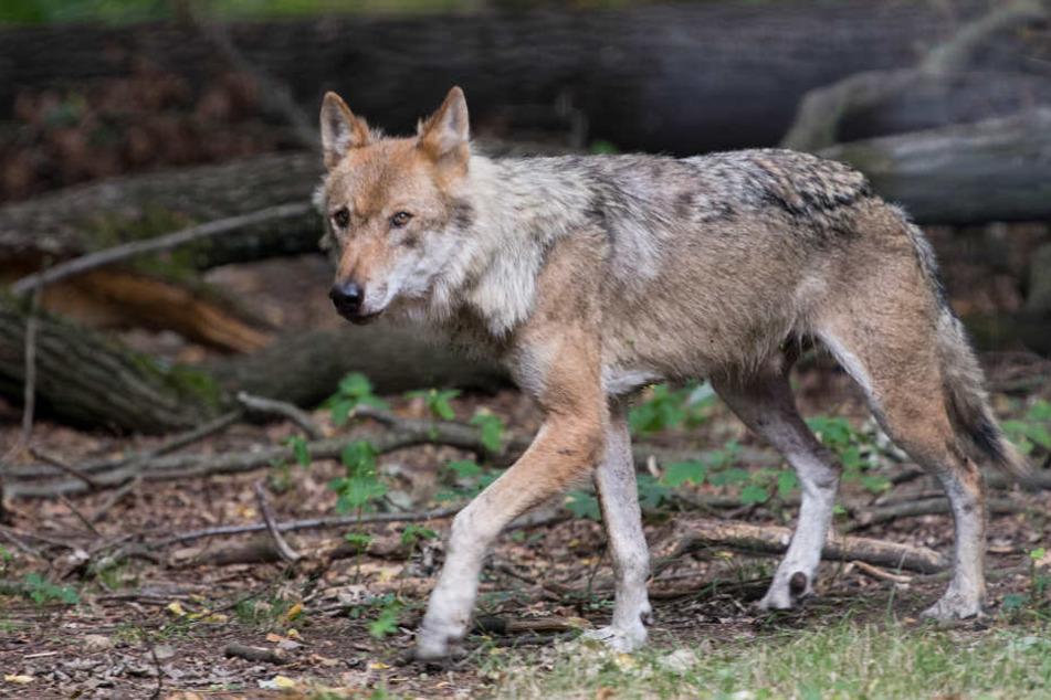 Ein junger Wolf hat es von Dänemark bis nach Hamburg gewagt (Symbolbild).