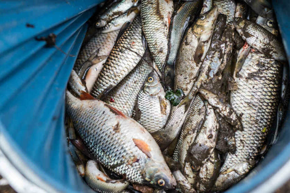 Tote Fische aus dem Fluss Schozach.