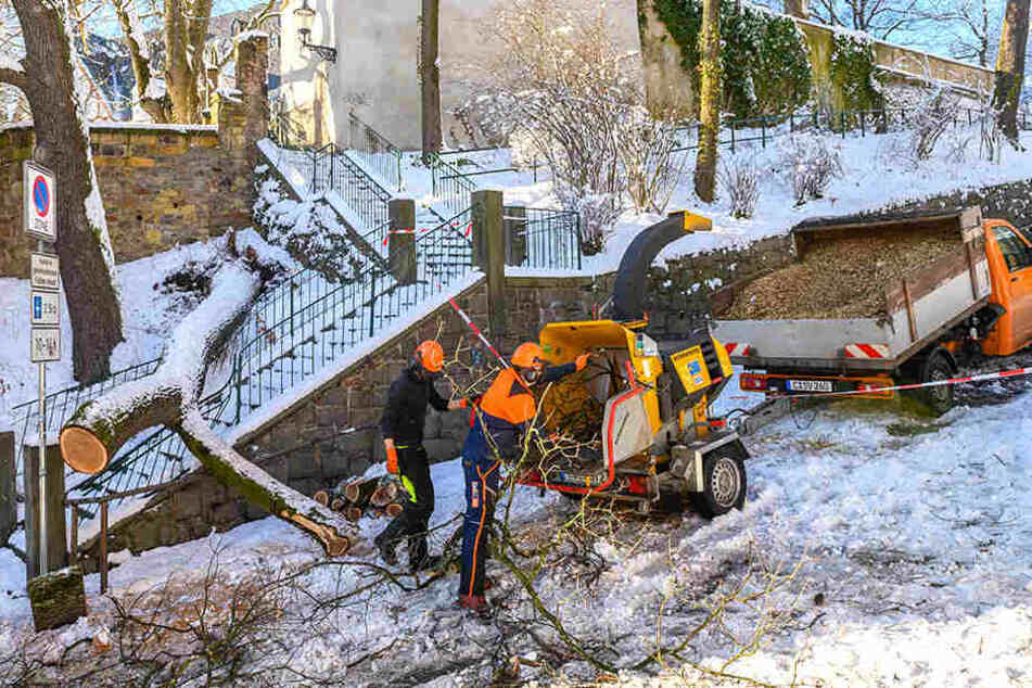 Mitarbeiter der Stadt häckselten die Brucheiche am Schlossberg.