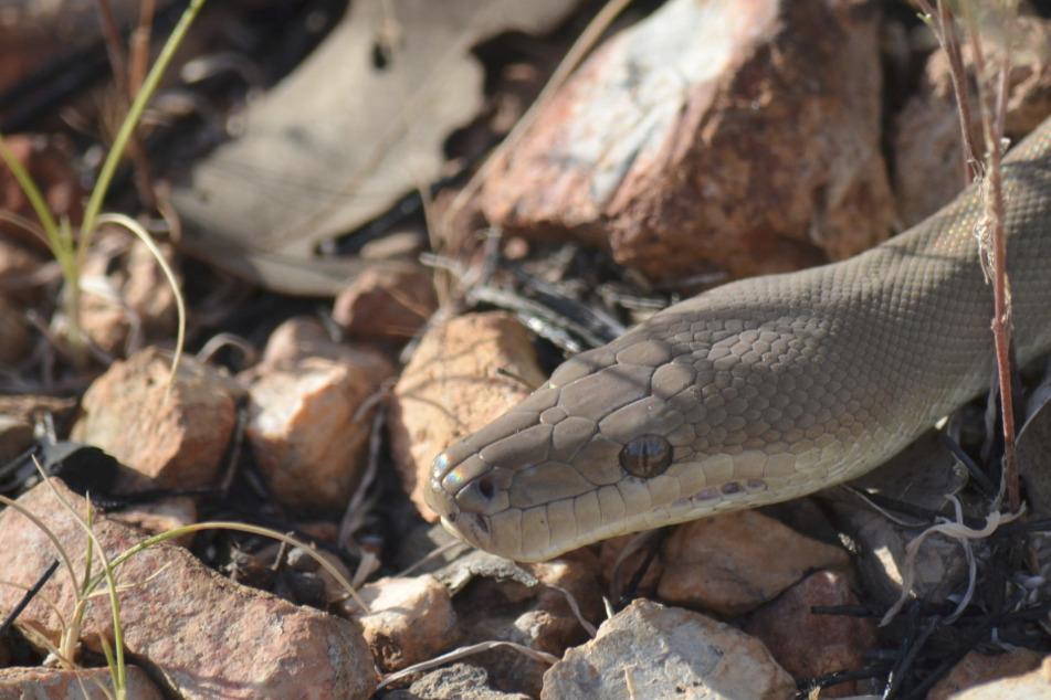 Giant snakes are not uncommon in Australia (symbolic photo).