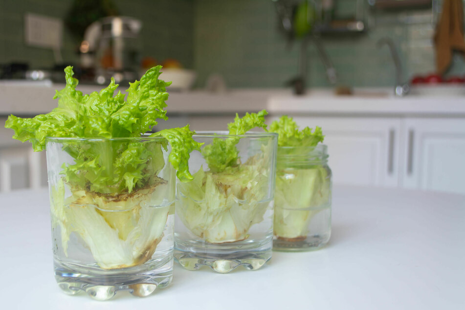 Aus dem Strunk des Salats wachsen neue Blätter.