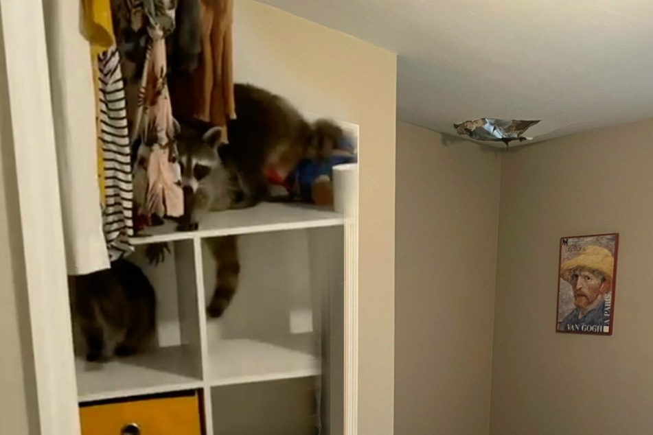 Raccoon ceiling: Florida woman discovers five furry guests literally crash at her place!