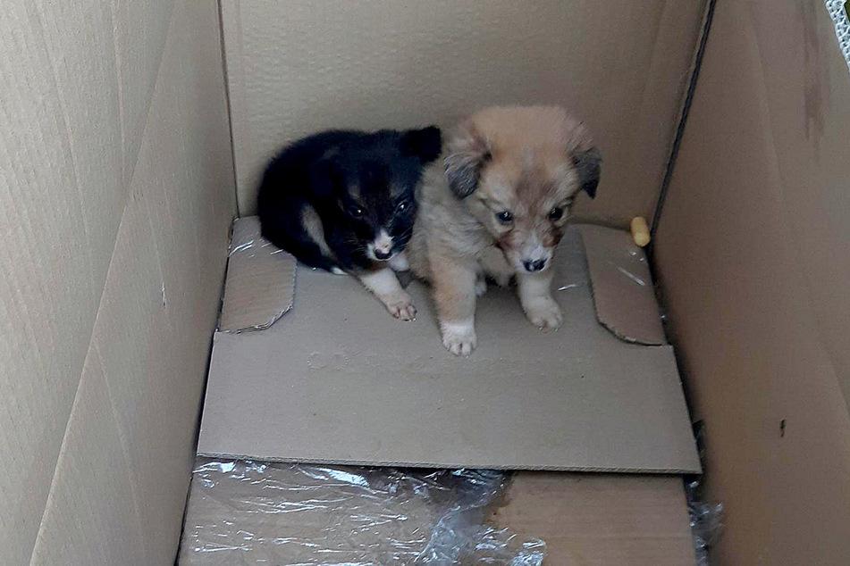 Bundespolizisten entdeckten diese beiden Hundewelpen in einem Transporter, der auf der A17 Richtung Dresden unterwegs war.