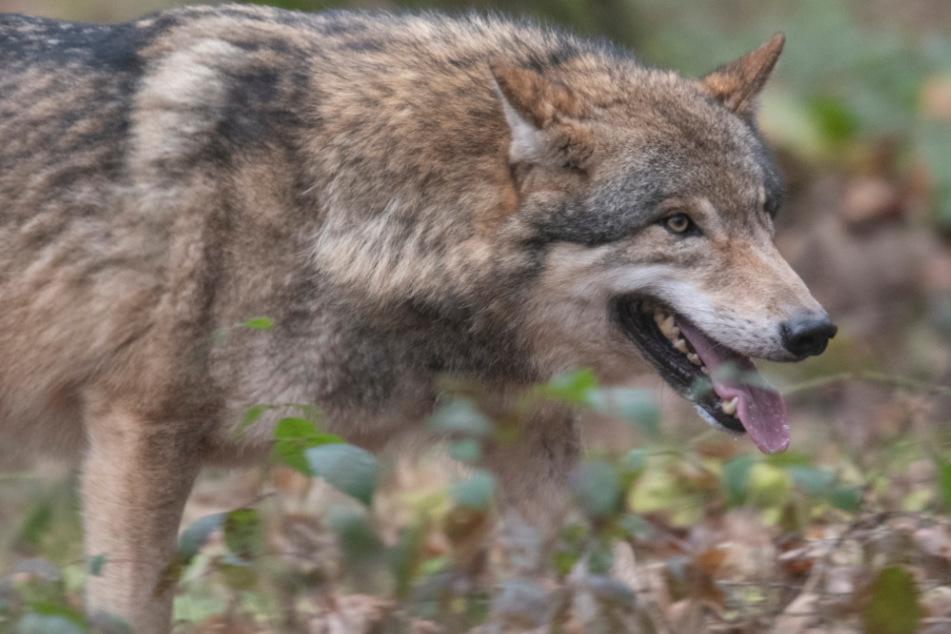 Mindestens zwei Wölfe leben mittlerweile dauerhaft in Baden-Württemberg. (Symbolbild)