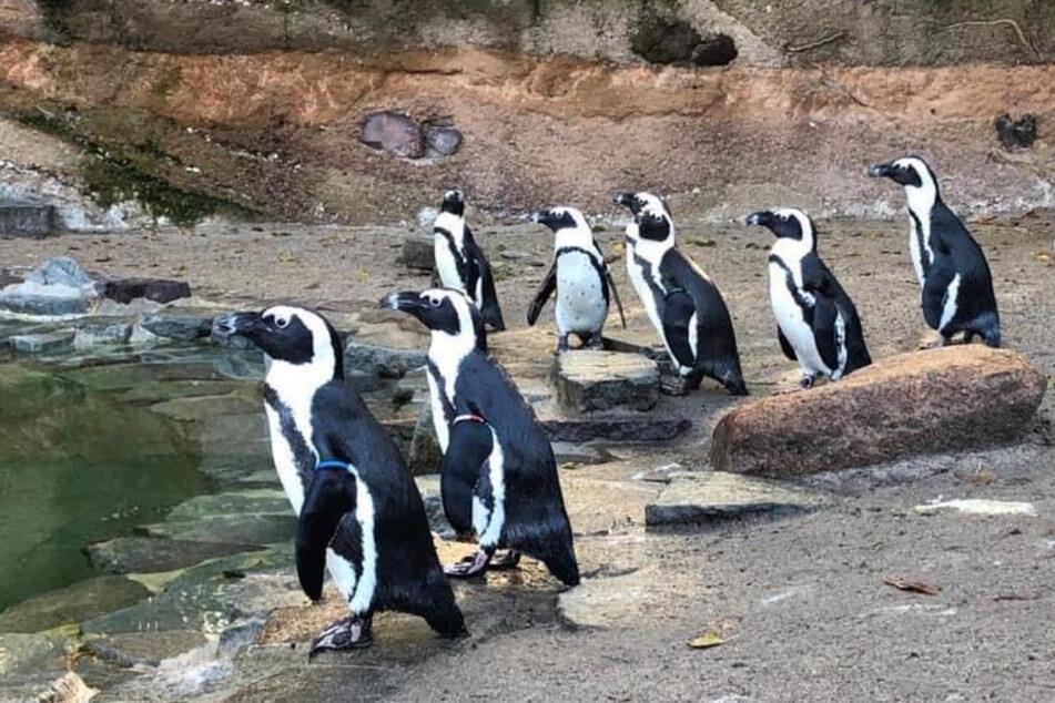 Circa 275.000 Gäste besuchten 2020 den Magdeburger Zoo, um Tiere wie diese Pinguine zu beobachten. Das waren ungefähr zwölf Prozent weniger als im Vorjahr.