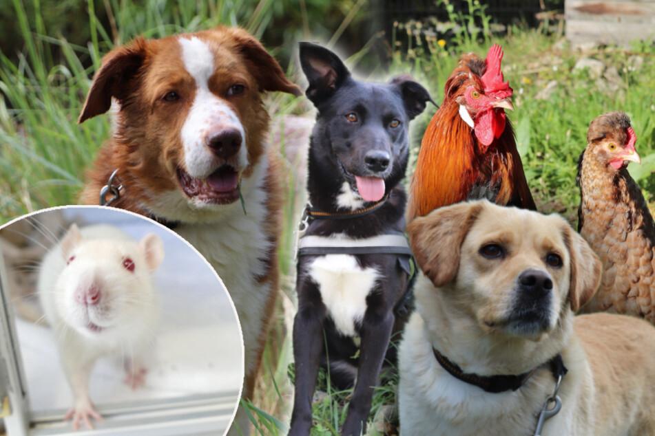 7 besondere Tiere: Diese Hunde, Hühner und Ratten suchen ein Zuhause