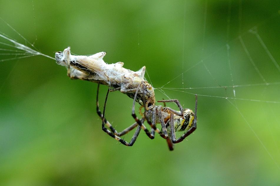 Nicht nur vor Madenkäse, auch vor harmlosen Spinnen ekeln sich viele (Foto: Unsplash/Bankim Desai).