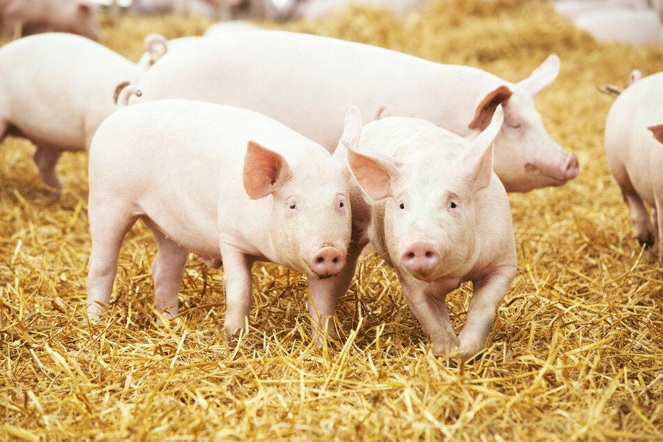 Schlachthof-Schließung bringt Thüringer Schweinehalter in Nöte