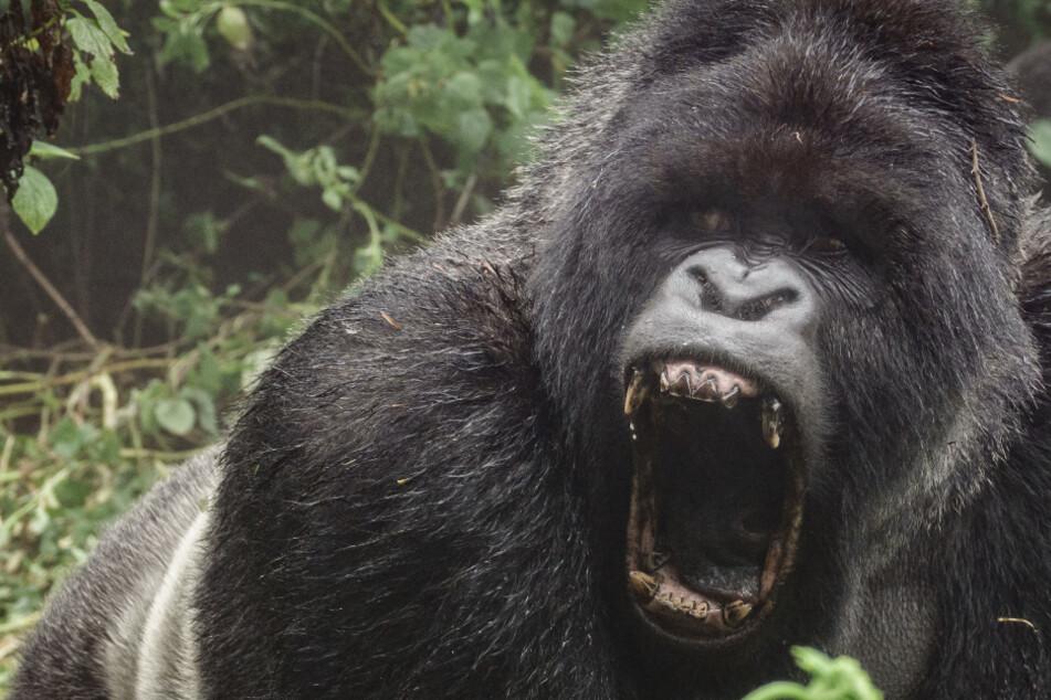 200-Kilo-Gorilla stürzt sich im Zoo auf Tierpflegerin und verletzt sie schwer