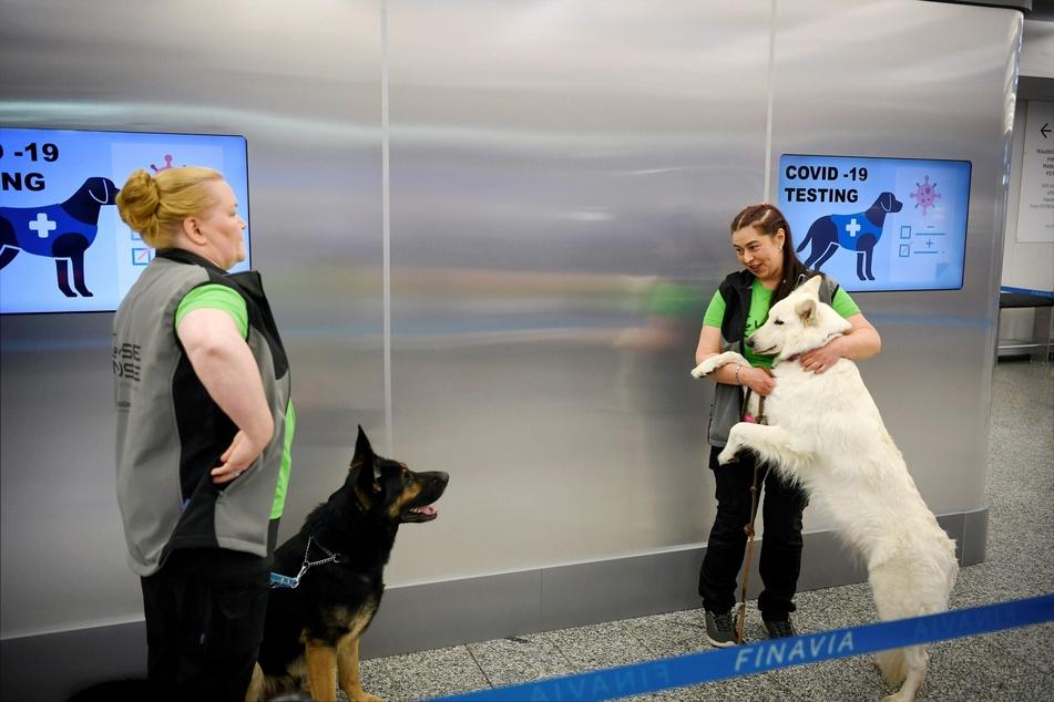 Die Spürhunde Valo (l) und E.T. stehen mit ihren Trainern während einer Pressekonferenz hinter einer Absperrung am Flughafen Helsinki-Vantaa.