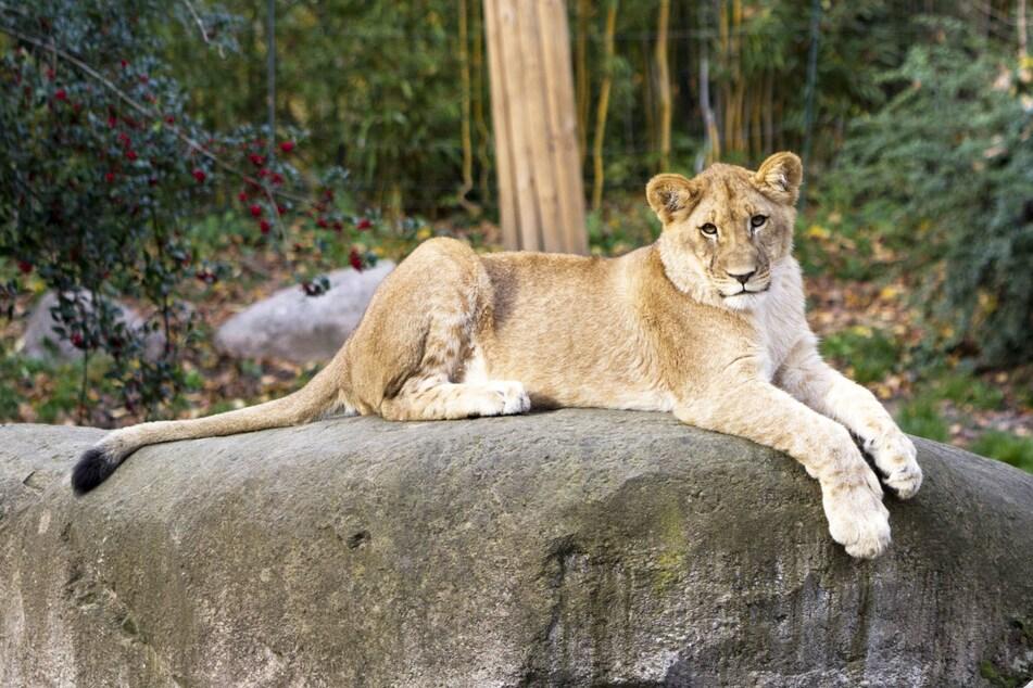 Wer Hanna und ihre Löwen-Geschwister nun besuchen will, muss nach Berlin fahren.
