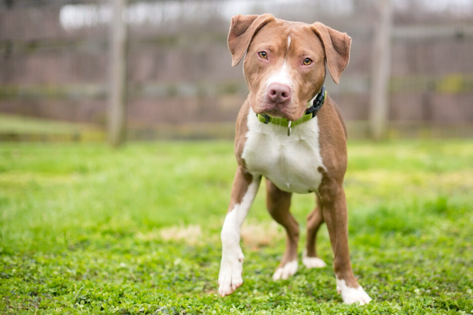 The family's dog was a pit bull mix (stock image).