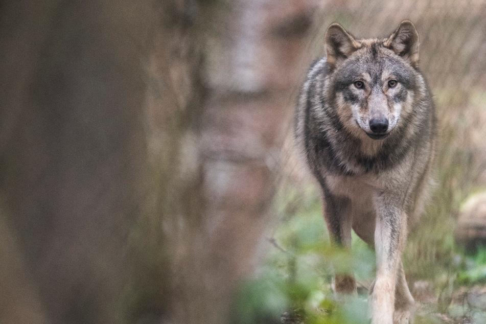 32-jährige Autofahrerin kracht auf Bundesstraße in ausgewachsenen Wolf